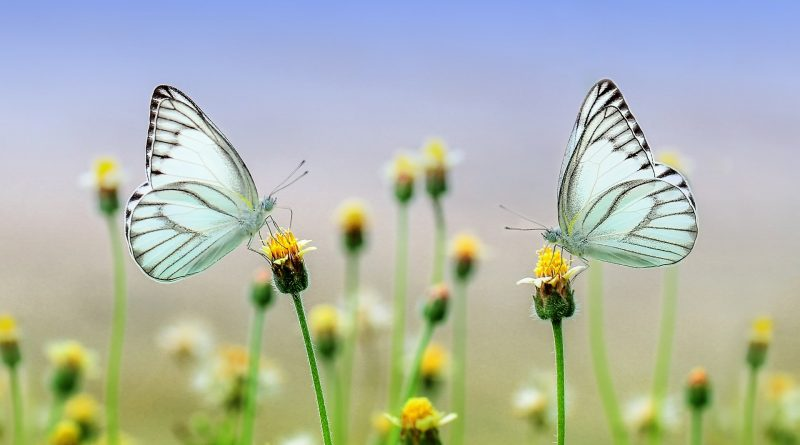 Schmetterlinge - Waas ein Flügelschlag wohl bewirken kann?