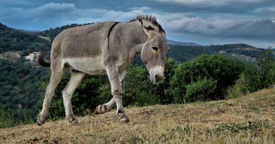 Ein traurig wirkender Esel