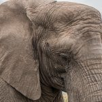 Elefant(skin) in the game