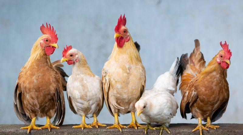 Hühner - Ideenfindung in der Retro muss nicht wie beim blinden Huhn laufen, das auch mal ein Korn findet